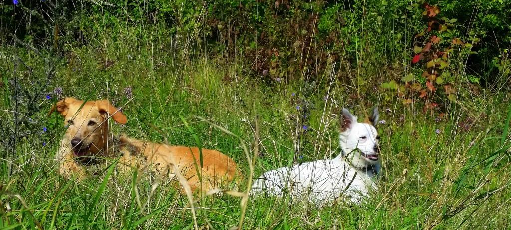 Hunde im Gras